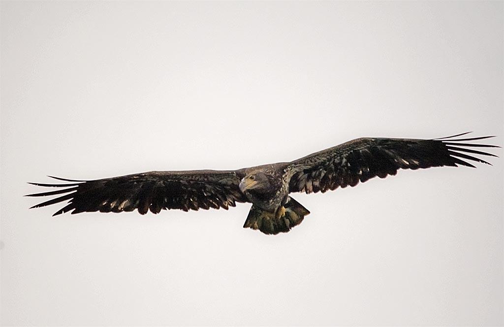 bald-eagle-2016-73