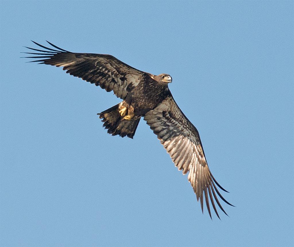 bald-eagle-2016-74