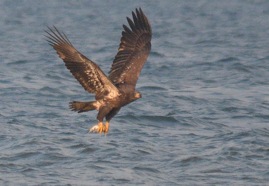 bald-eagle-2016-80