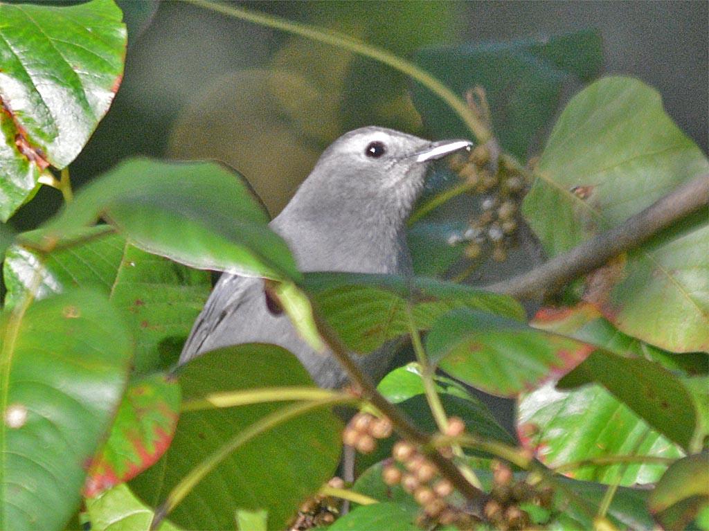 blue-gray-gnatcatcher-2016-12