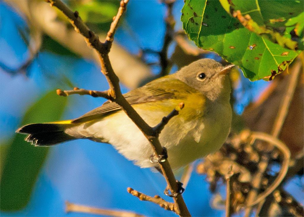 common-yellowthroat-warbler-2016-13