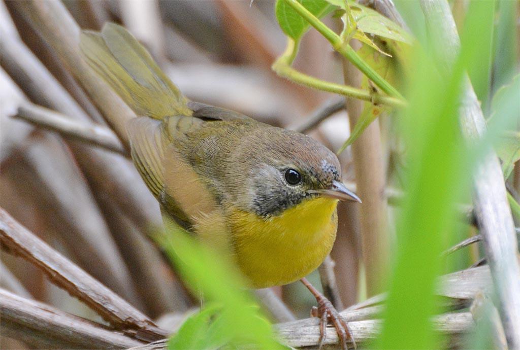 common-yellowthroat-warbler-2016-15