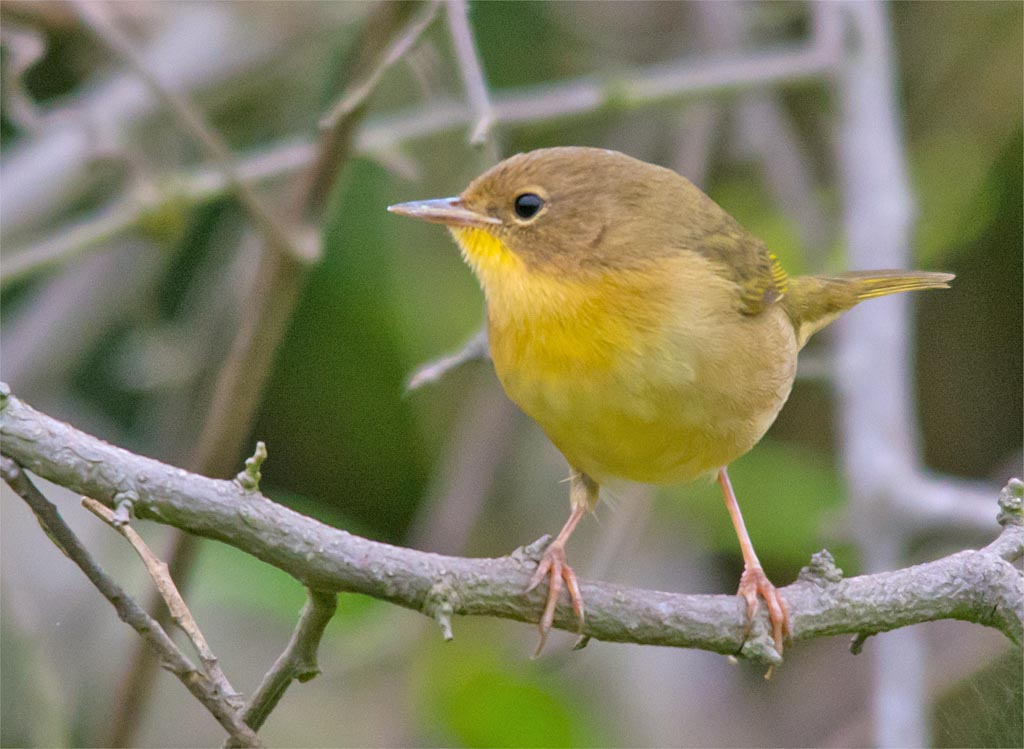common-yellowthroat-warbler-2016-16