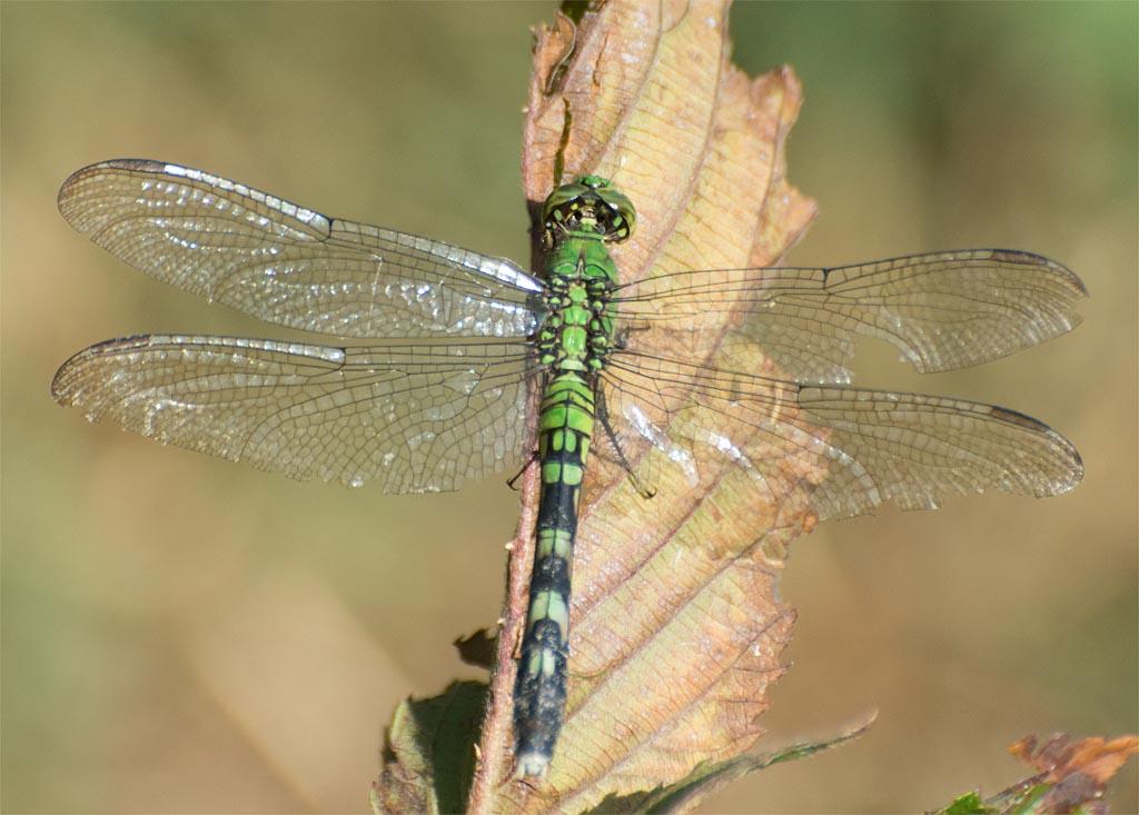 dragonfly-96