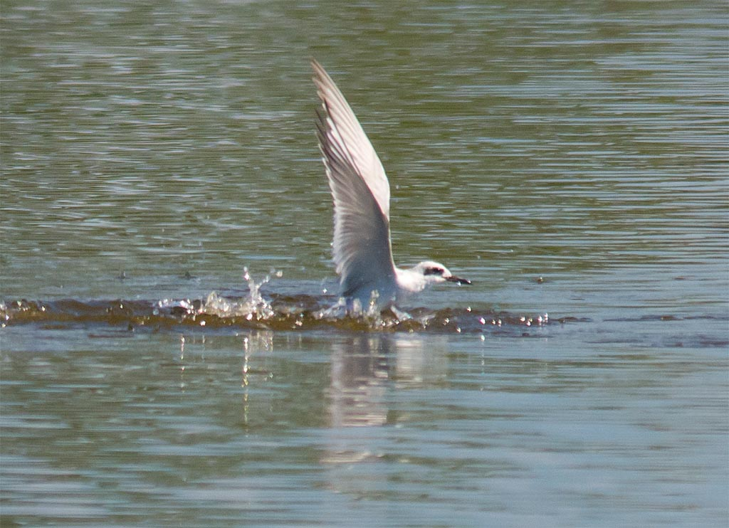 forsters-tern-2016-31