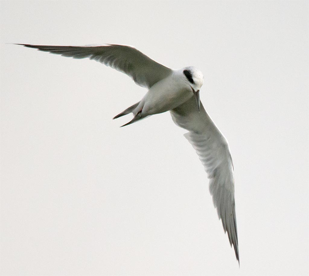 forsters-tern-2016-33