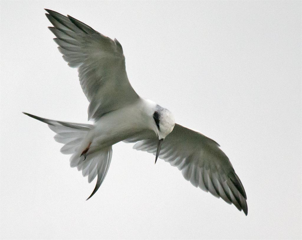 forsters-tern-2016-34