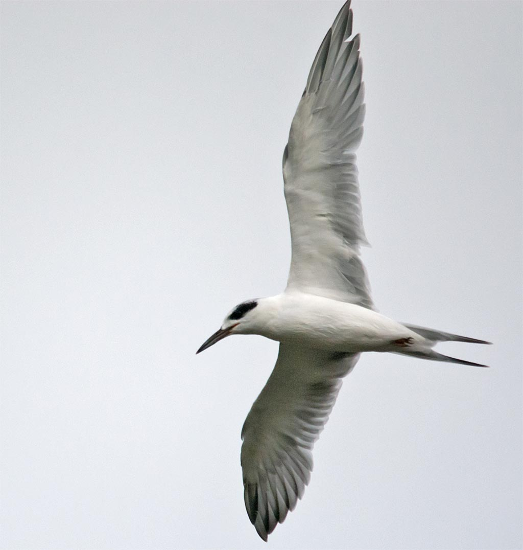 forsters-tern-2016-35