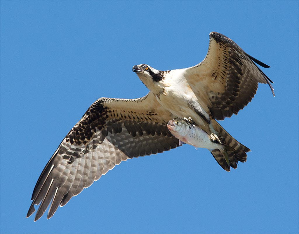 osprey-2016-121