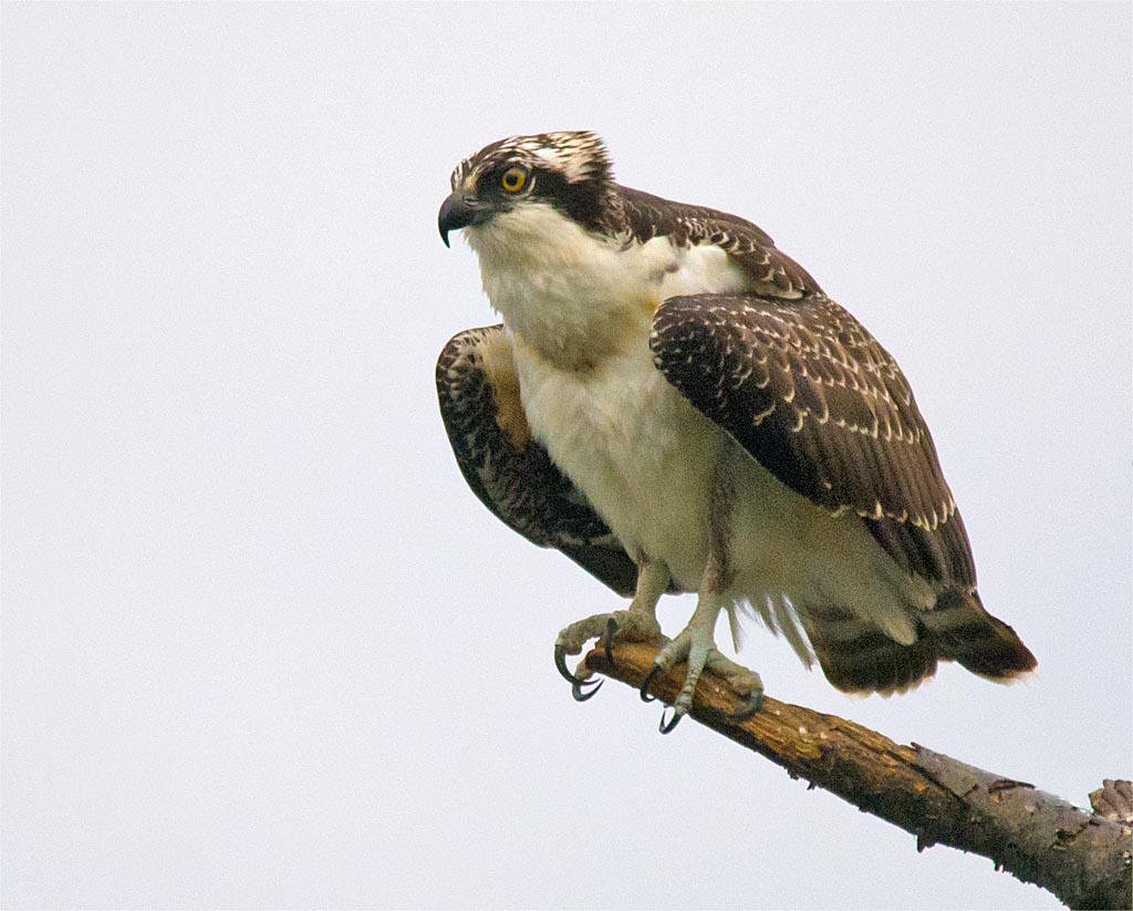 osprey-2016-130