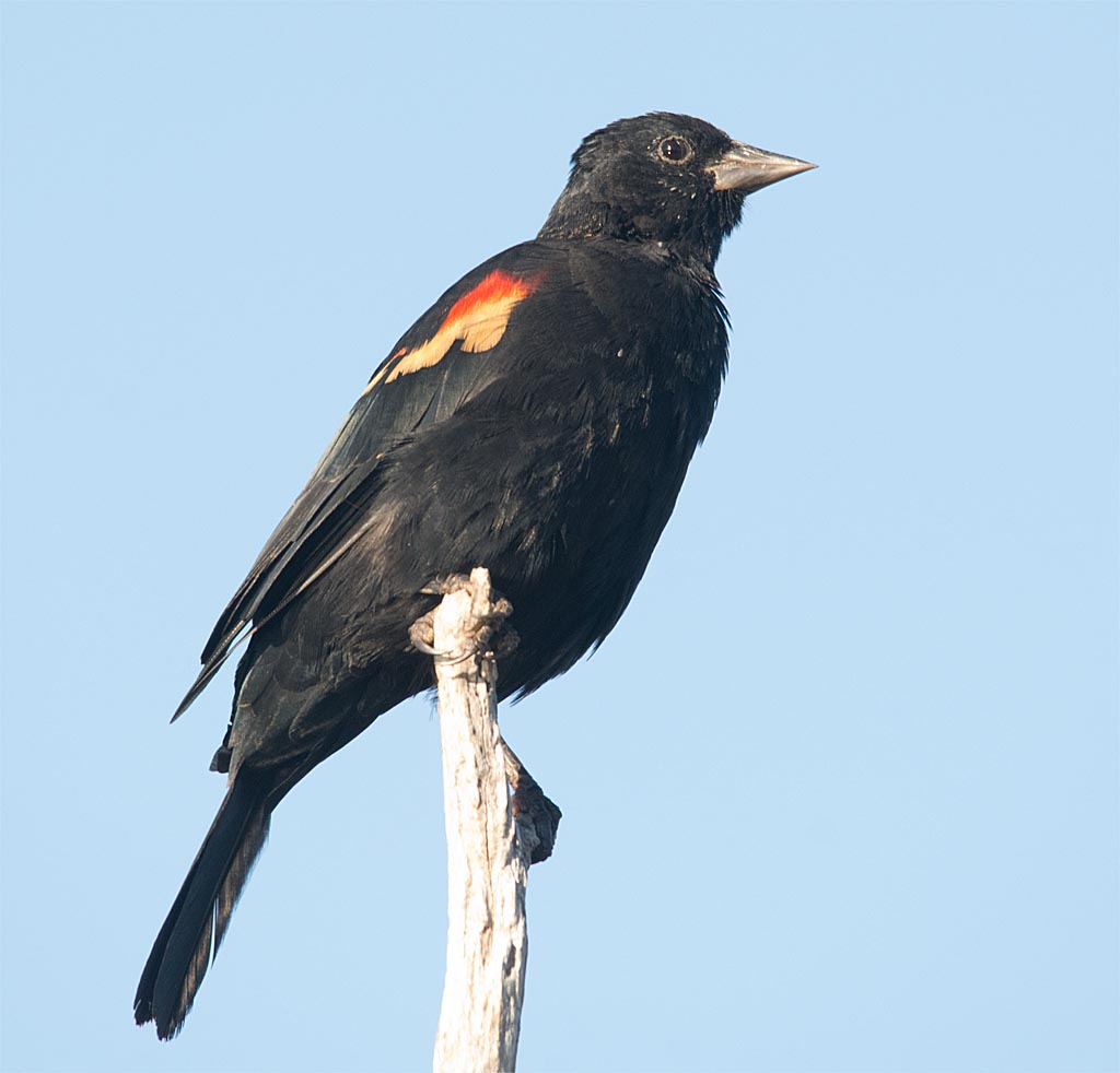 red-winged-blackbird-2016-56