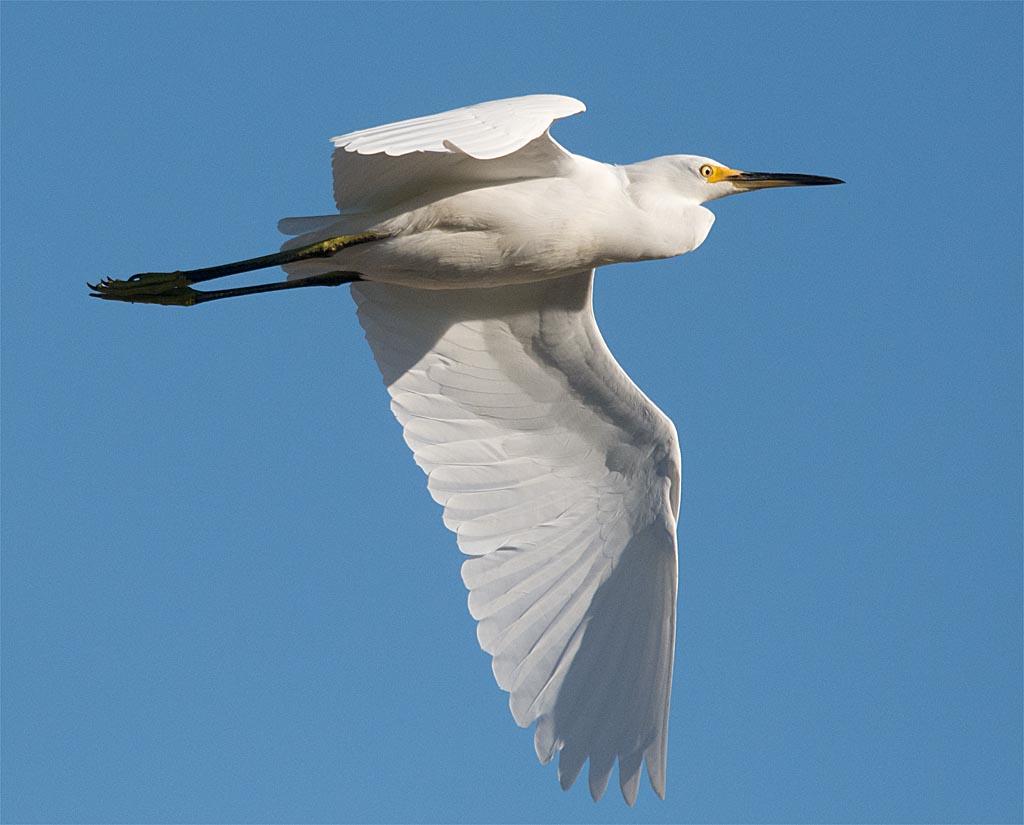 snowy-egret-2016-129