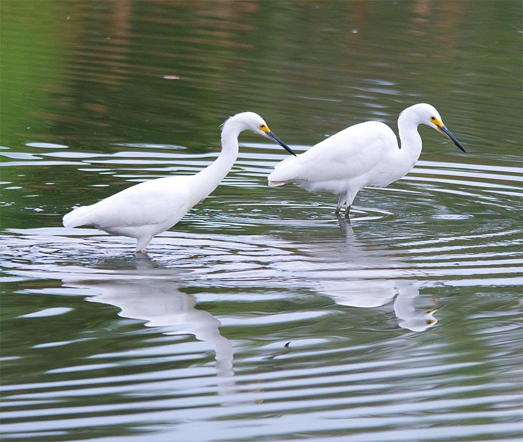 snowy-egret-2016-132