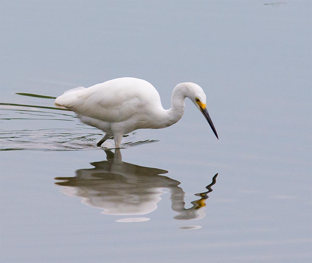 snowy-egret-2016-133