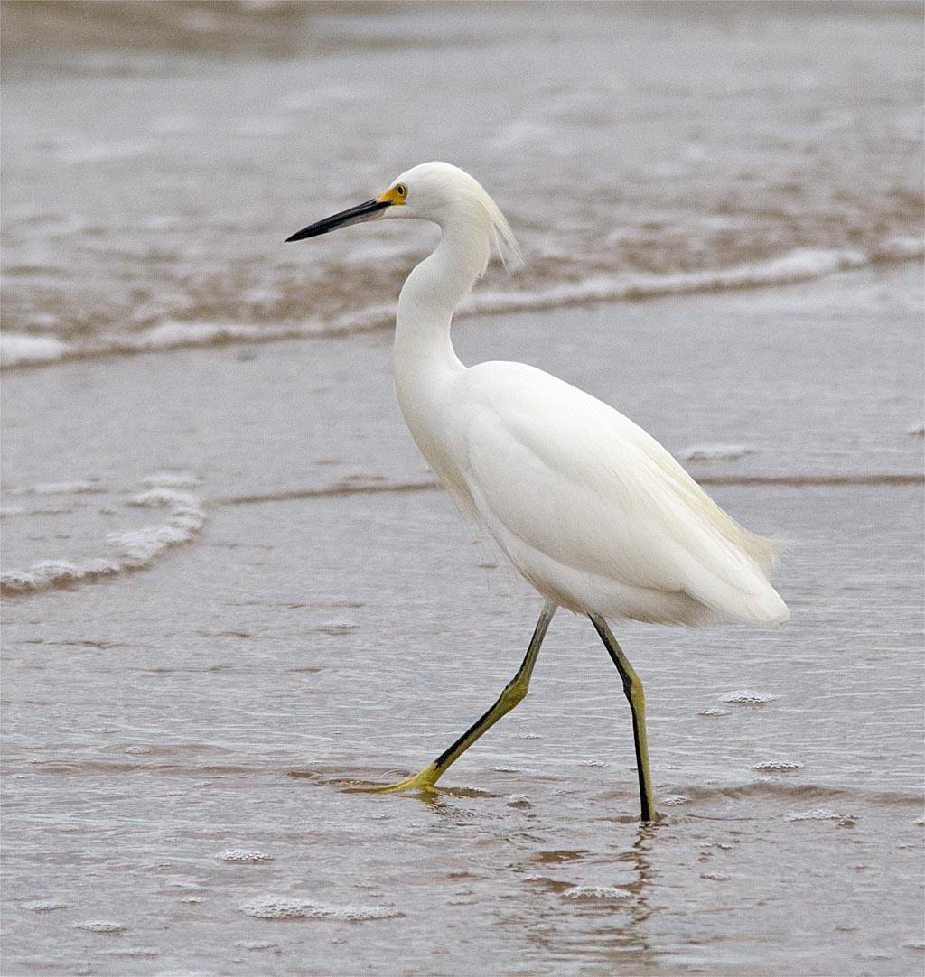 snowy-egret-2016-135