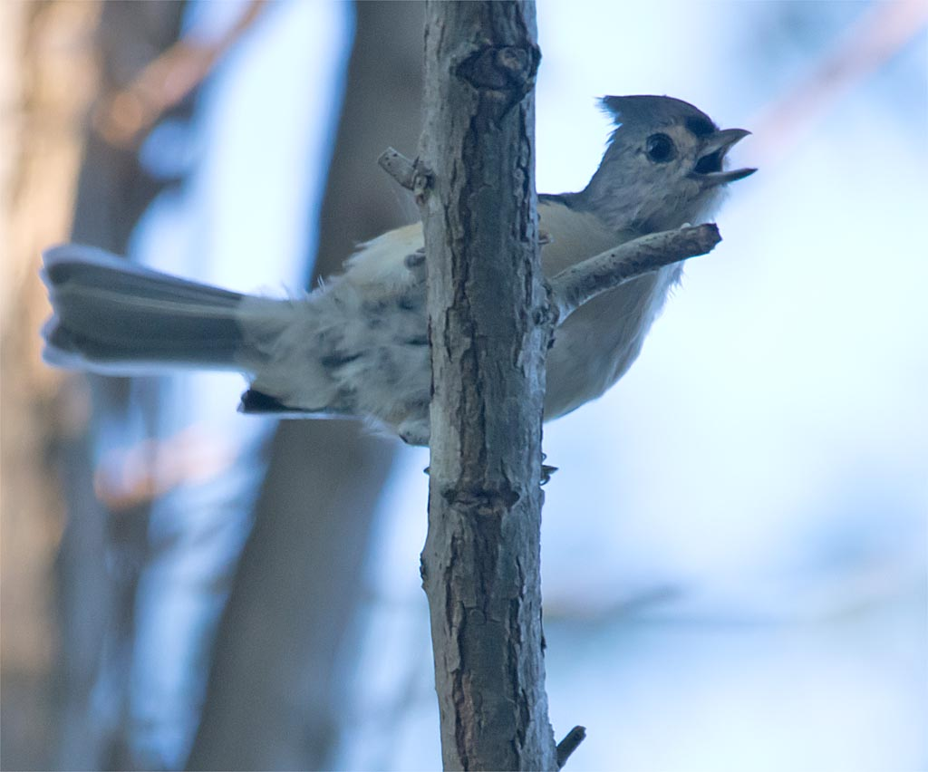 tufted-titmouse-2016-3