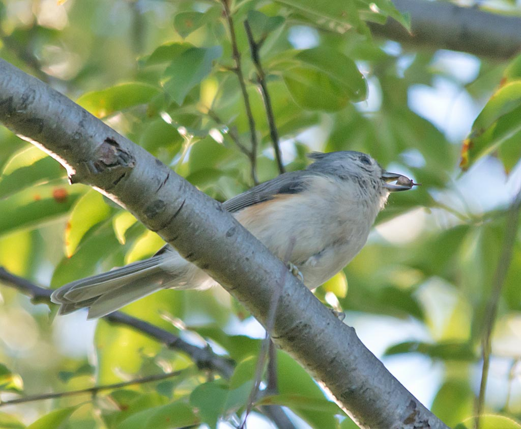 tufted-titmouse-2016-4