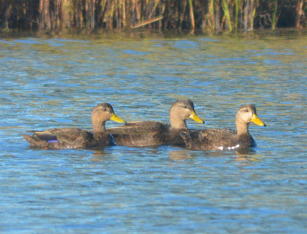 black-duck-2016-1