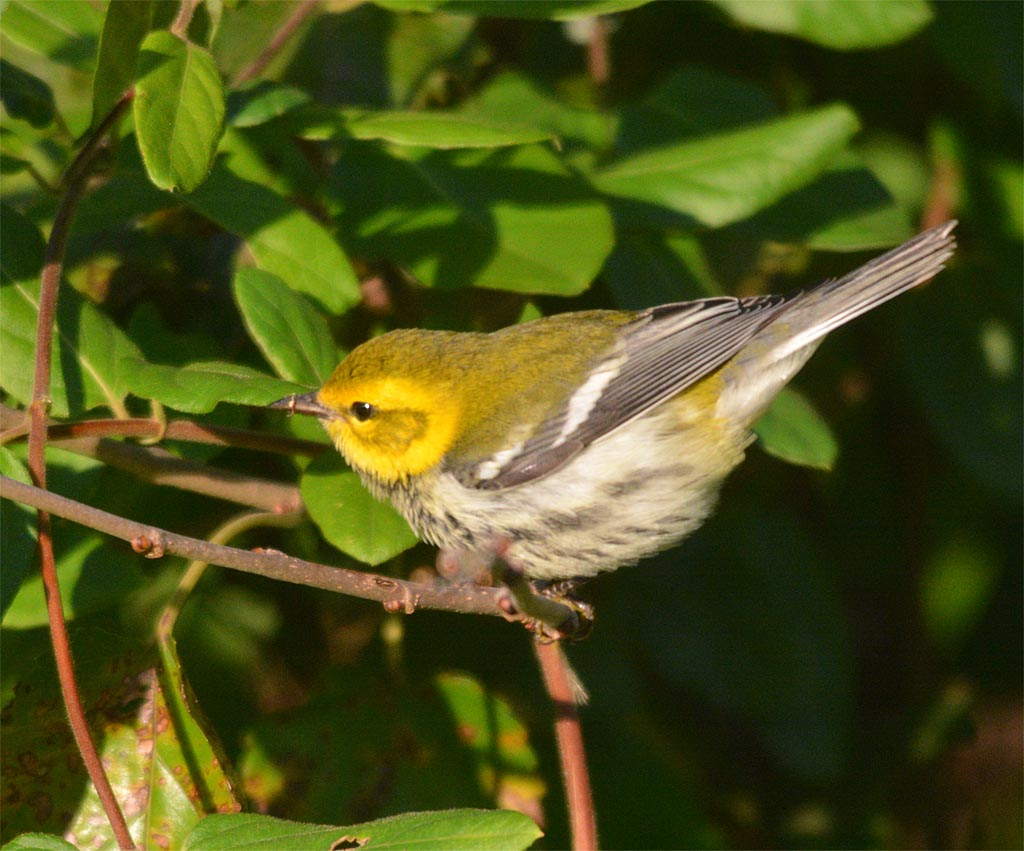 black-throated-green-warbler-2016-3