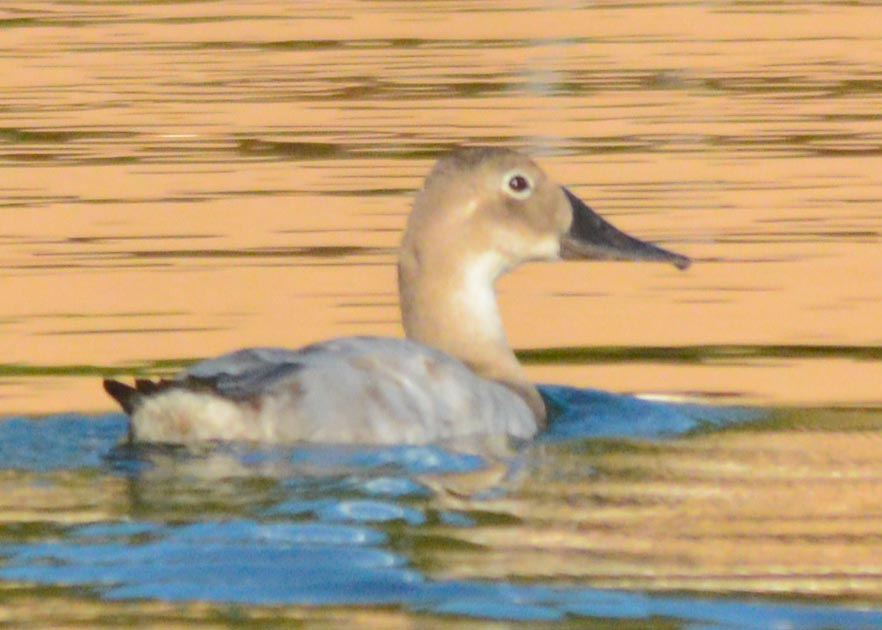 canvasback-2016-18