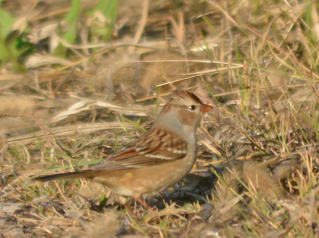 field-sparrow-2016-5