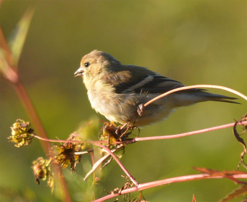 goldfinch-2106-19