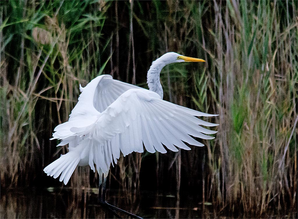 great-egret-2016-68
