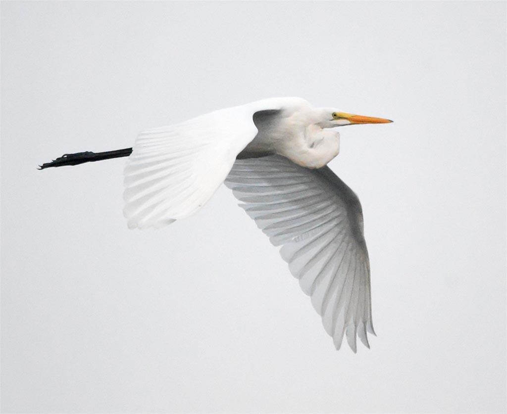 great-egret-2016-69
