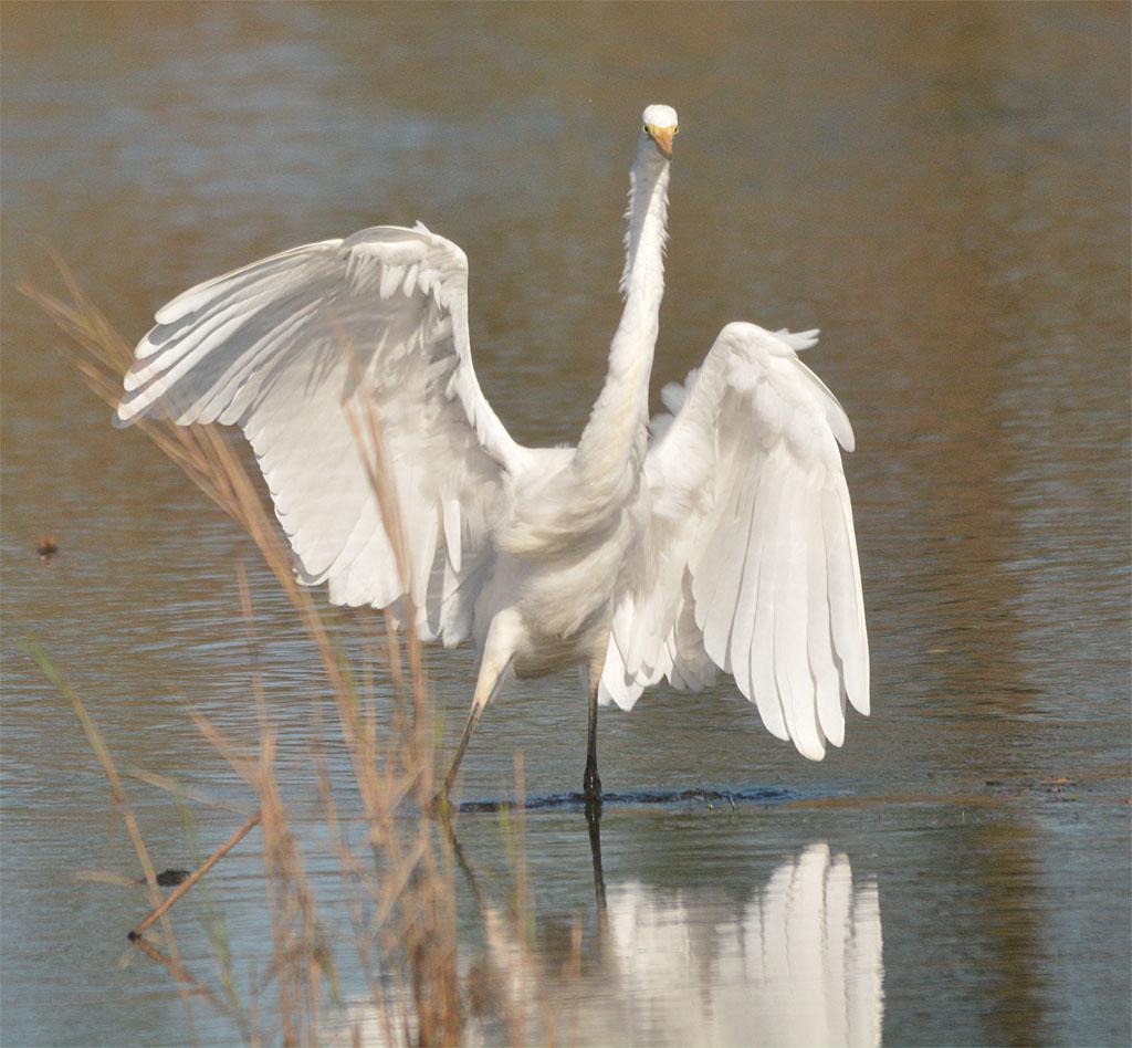 great-egret-2016-71