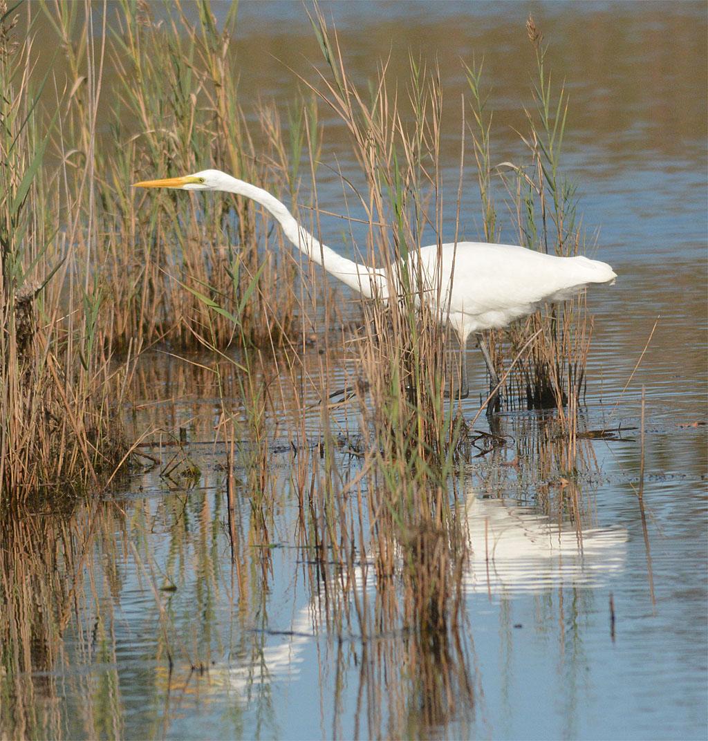 great-egret-2016-72