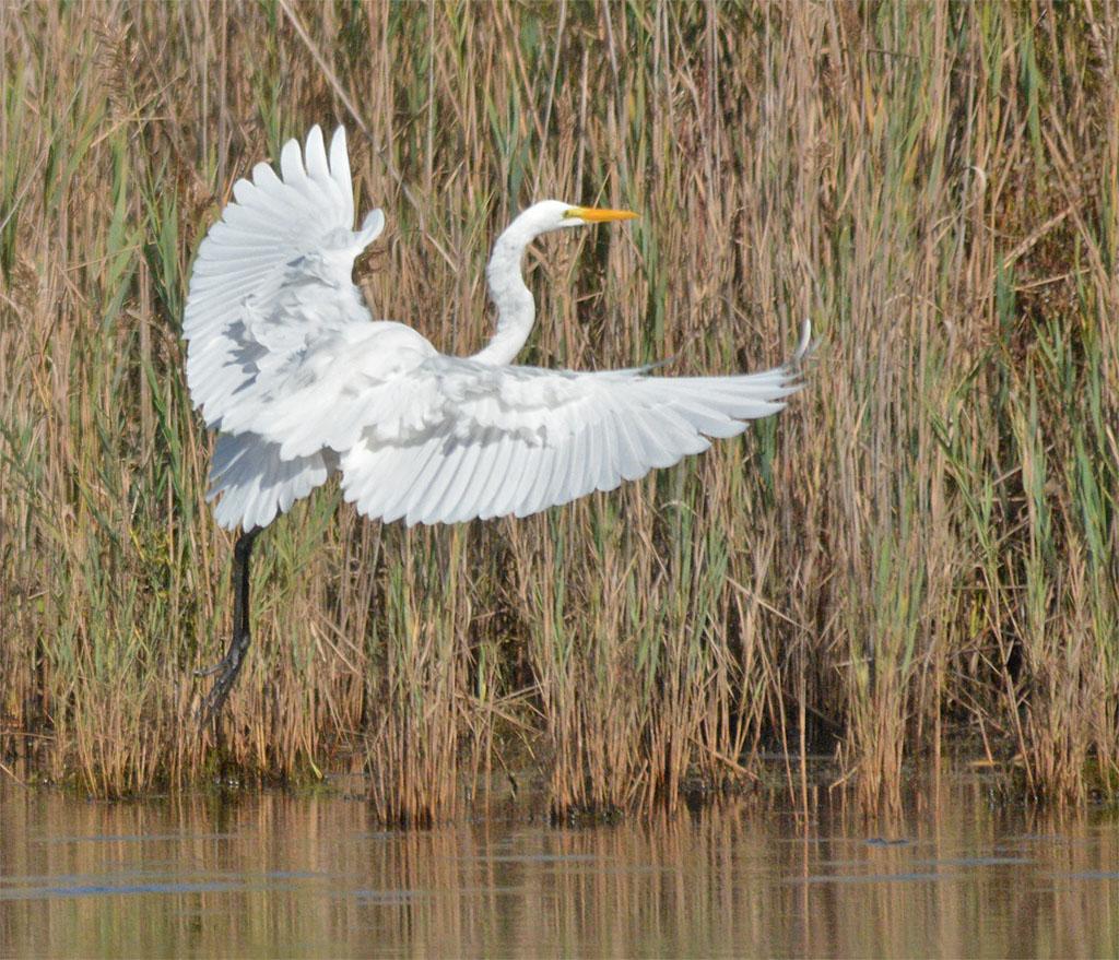 great-egret-2016-73