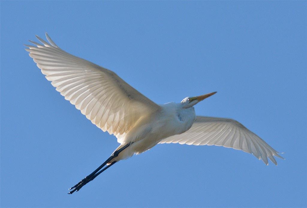 great-egret-2016-77