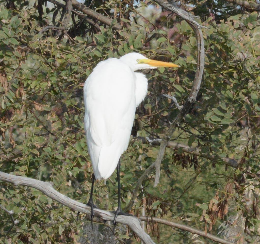 great-egret-2016-79