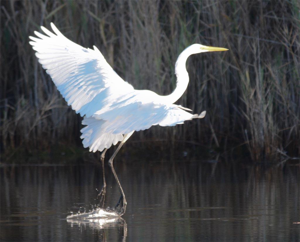 great-egret-2016-81