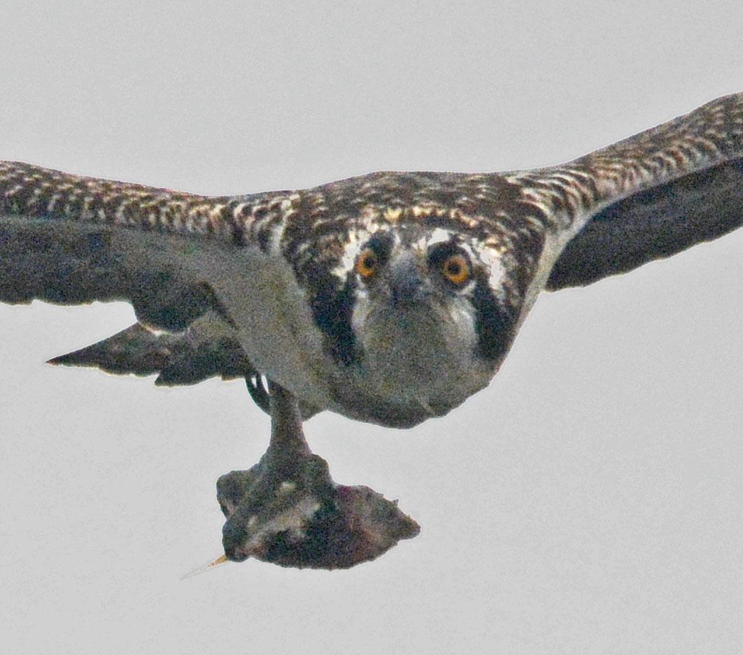 osprey-2016-134