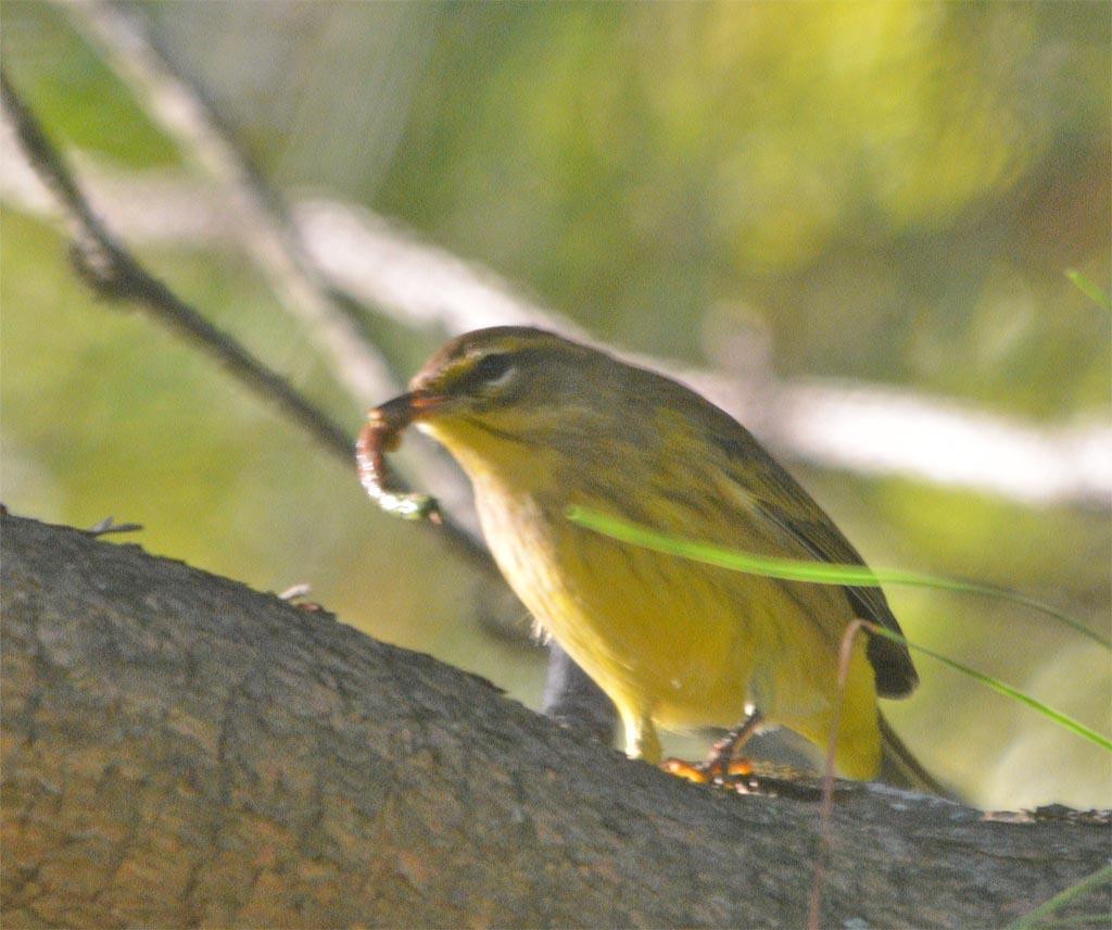 palm-warbler-2016-7
