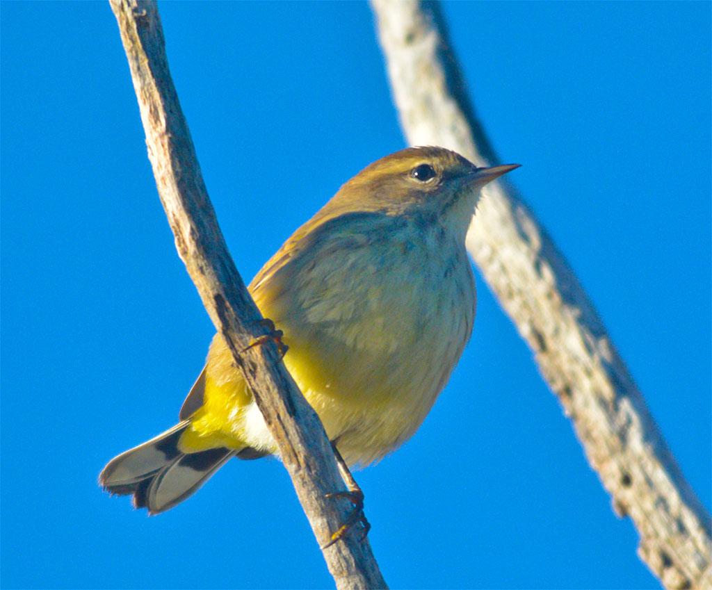 palm-warbler-2016-8