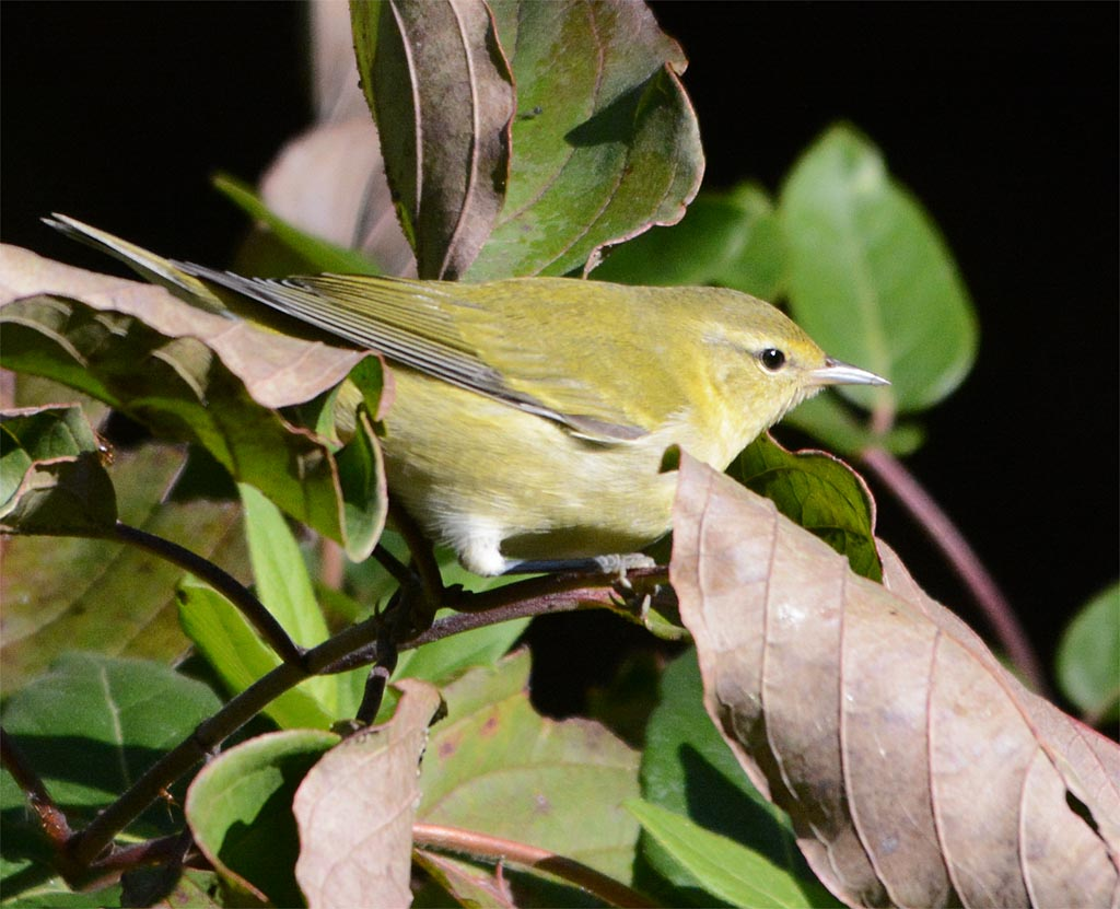 tennessee-warbler-2016-1