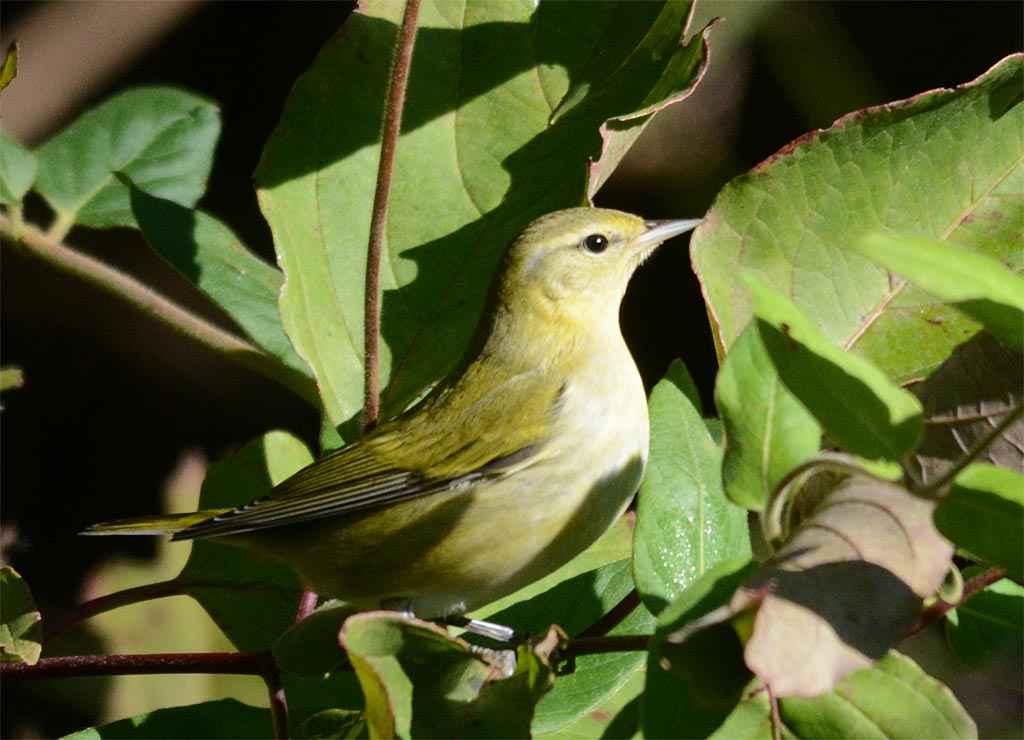 tennessee-warbler-2016-2