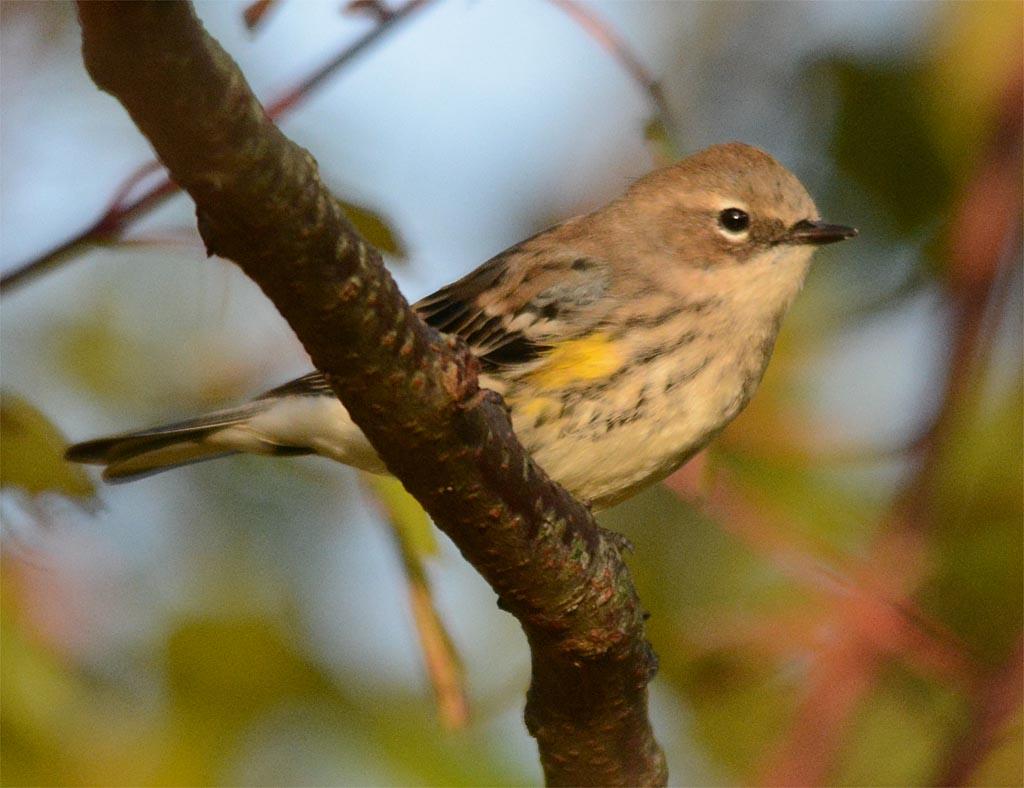 yellow-rumped-warbler-2016-21
