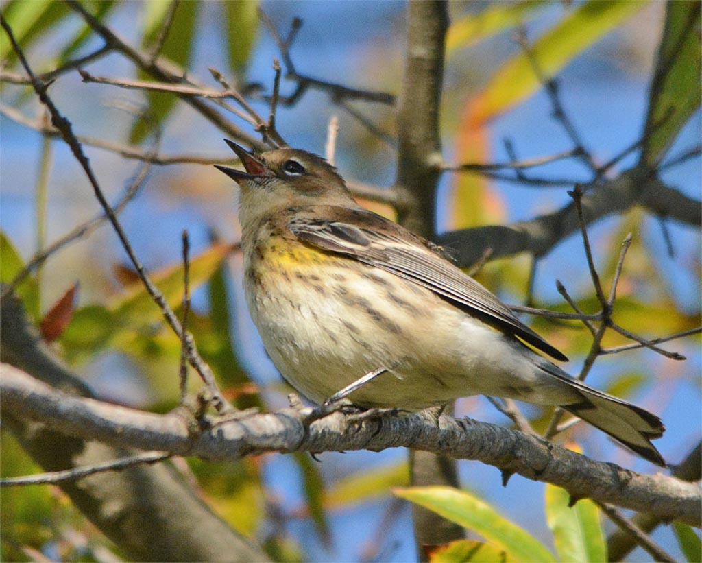 yellow-rumped-warbler-2016-22